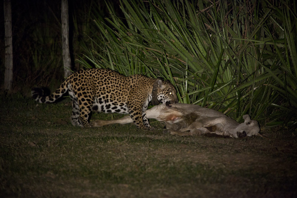 Jaguar animal eating - photo#19